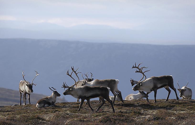 reindeer96f