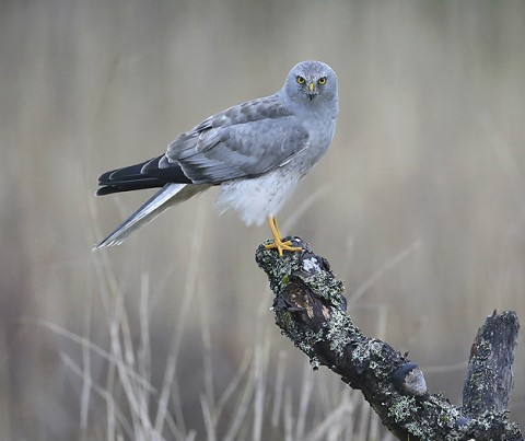 Hen Harrier, Orre, Norway