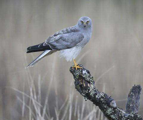 Hen Harrier, Orre, Norway