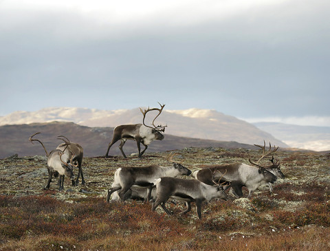 Reindeer herd in Forollhogna, Norway.