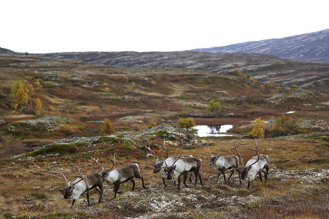 Reindeer herd at Forollhogna, Norway.